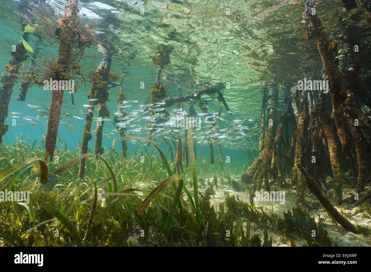 mangrove kosystem unter wasser mit der schule von. Black Bedroom Furniture Sets. Home Design Ideas