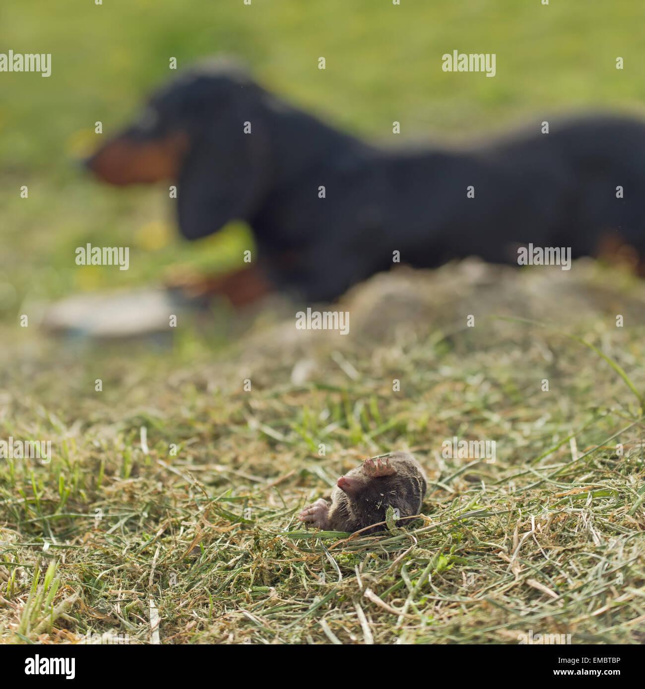mole animal dead stockfotos mole animal dead bilder alamy. Black Bedroom Furniture Sets. Home Design Ideas