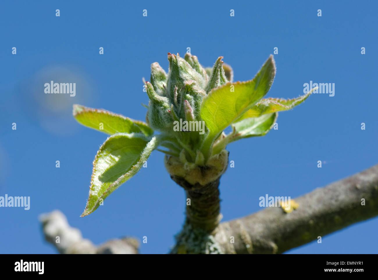 Grüner Apfel Knospen, Blüten und Blätter, grüne Cluster, Eröffnung in der Frühlingssonne Stockbild