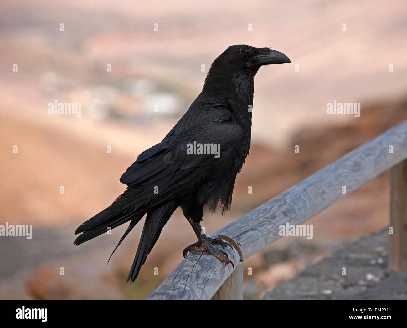 Kanarischen Inseln Rabe, Corvus Corax Jordansi (Sy C. c. Tingitanus), Rabenvögel. Stockbild