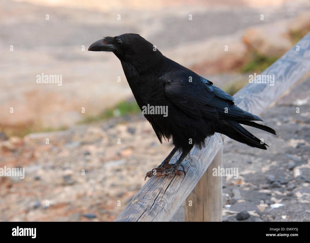 Kanarischen Inseln Rabe, Corvus Corax Jordansi (Sy C. c. Tingitanus), Rabenvögel. Stockfoto