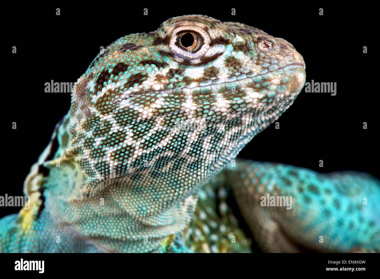 Collared Lizard (Crotaphytus collaris) Stockbild
