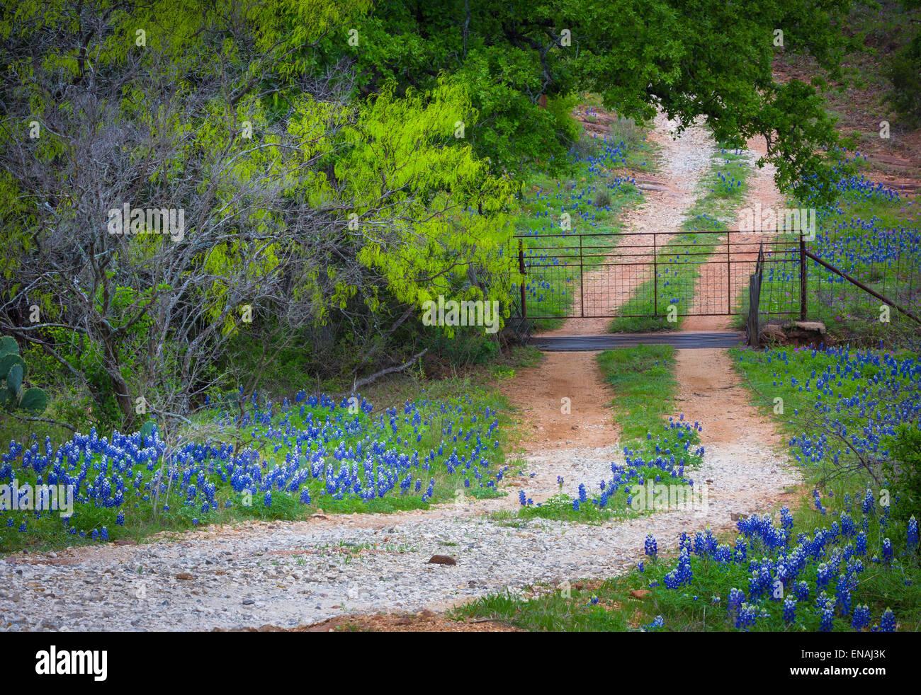 Kleine Kies Straße Linien mit Kornblumen, in der Nähe von Willow Stadt in Texas Hill Country Stockbild