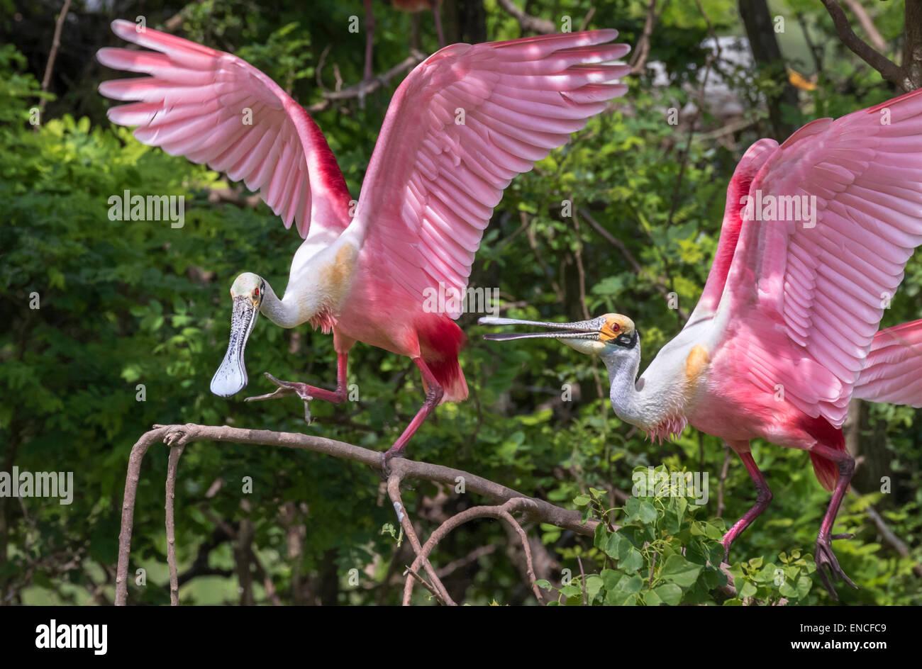 Ein Konflikt zwischen rosige Löffler (Platalea Ajaja) am Rookery, High Island, Texas, USA. Stockbild