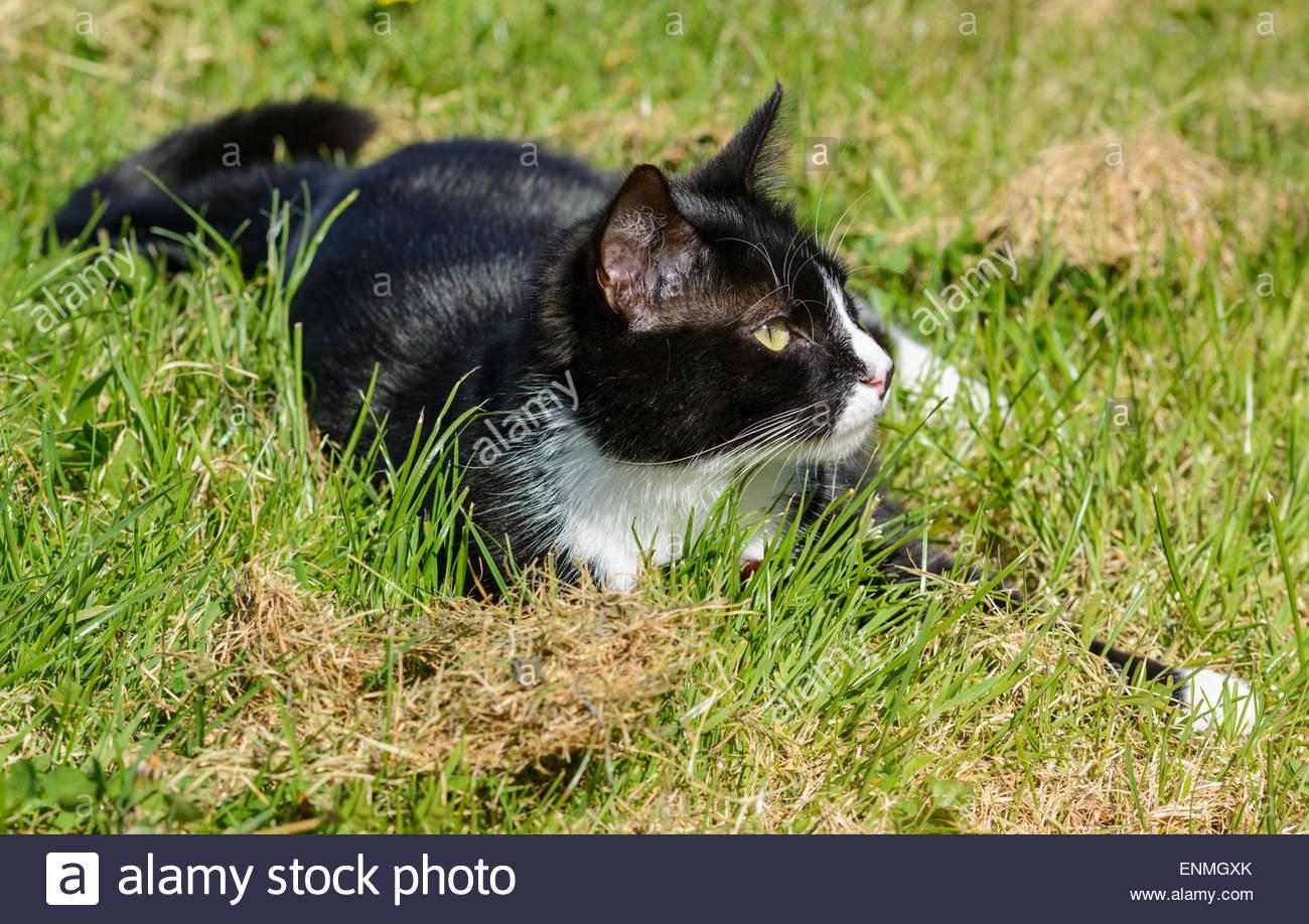 Schwarz / weiß Hauskatze im Gras. Stockbild