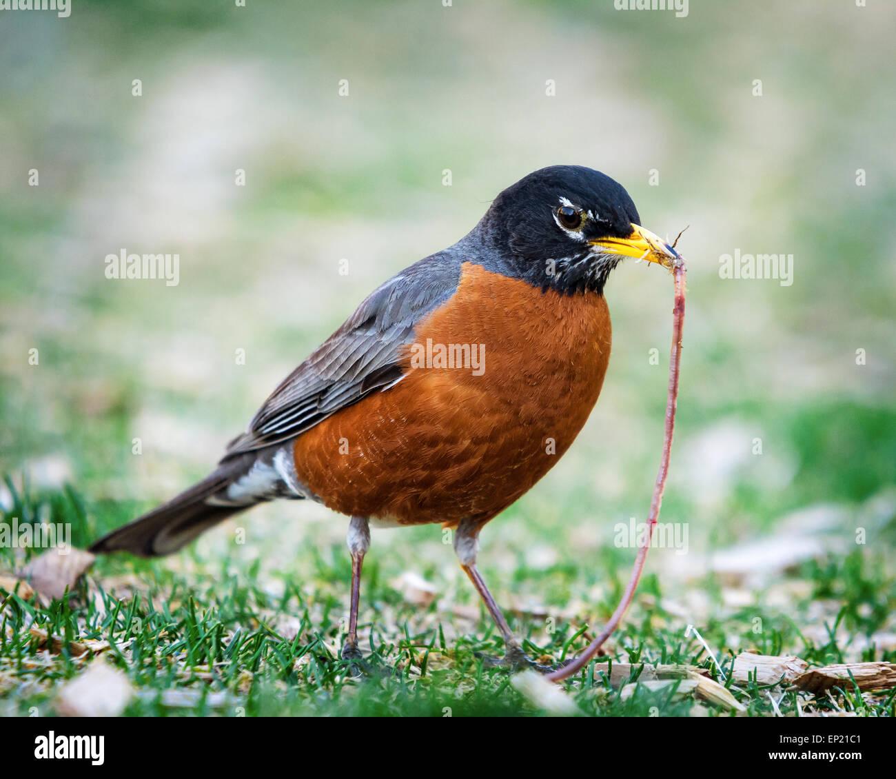 Robin mit einem Wurm im Maul Stockbild