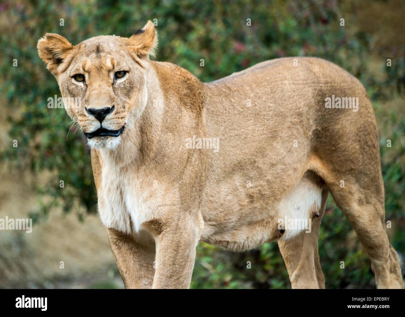 Löwin sucht neugierig Stockbild