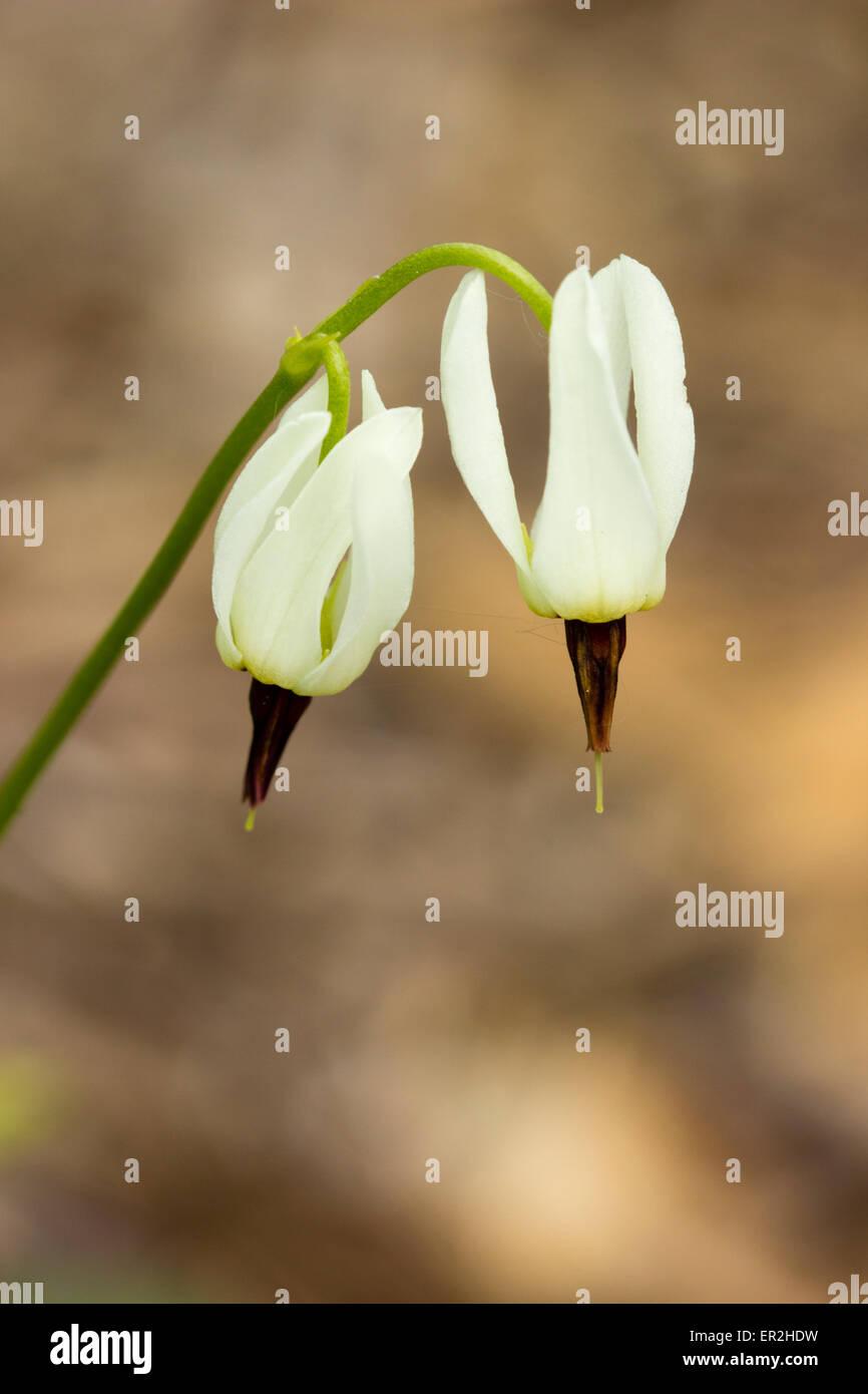 Zarten weißen Blüten der Sternschnuppe, Dodecatheon dentatum Stockbild