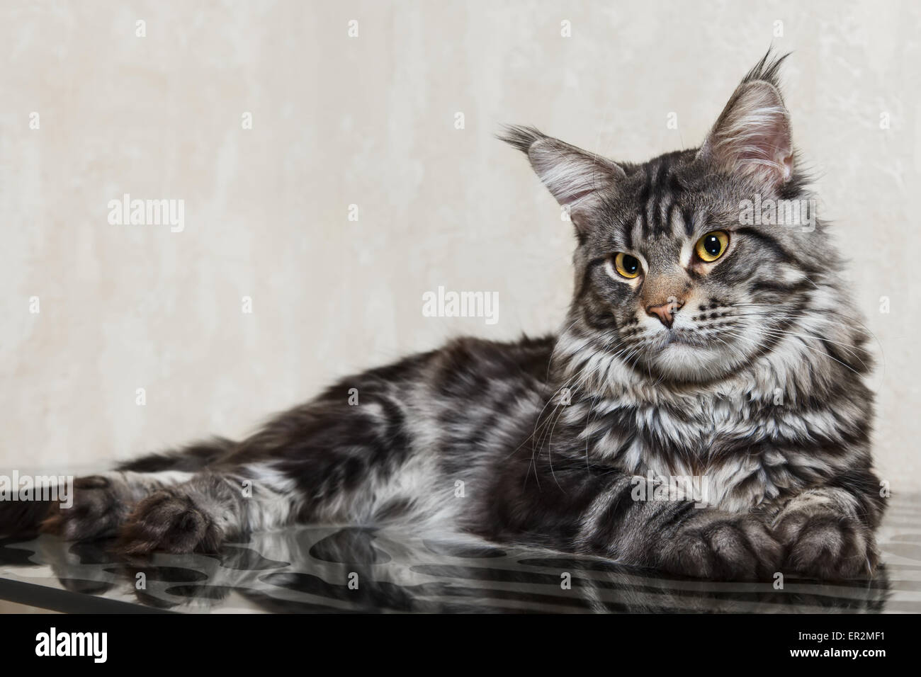 schwarz tabby maine coon katze mit gelben augen und gro en luchs posiert auf glastisch stockfoto. Black Bedroom Furniture Sets. Home Design Ideas