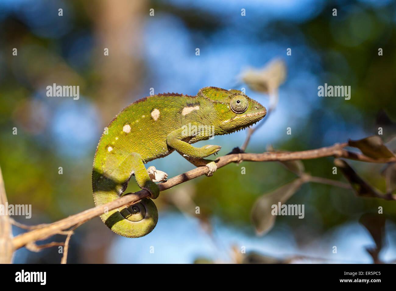 Warzige Chamäleon, Furcifer Verrucosus, Isalo Nationalpark, Madagaskar, Afrika Stockbild