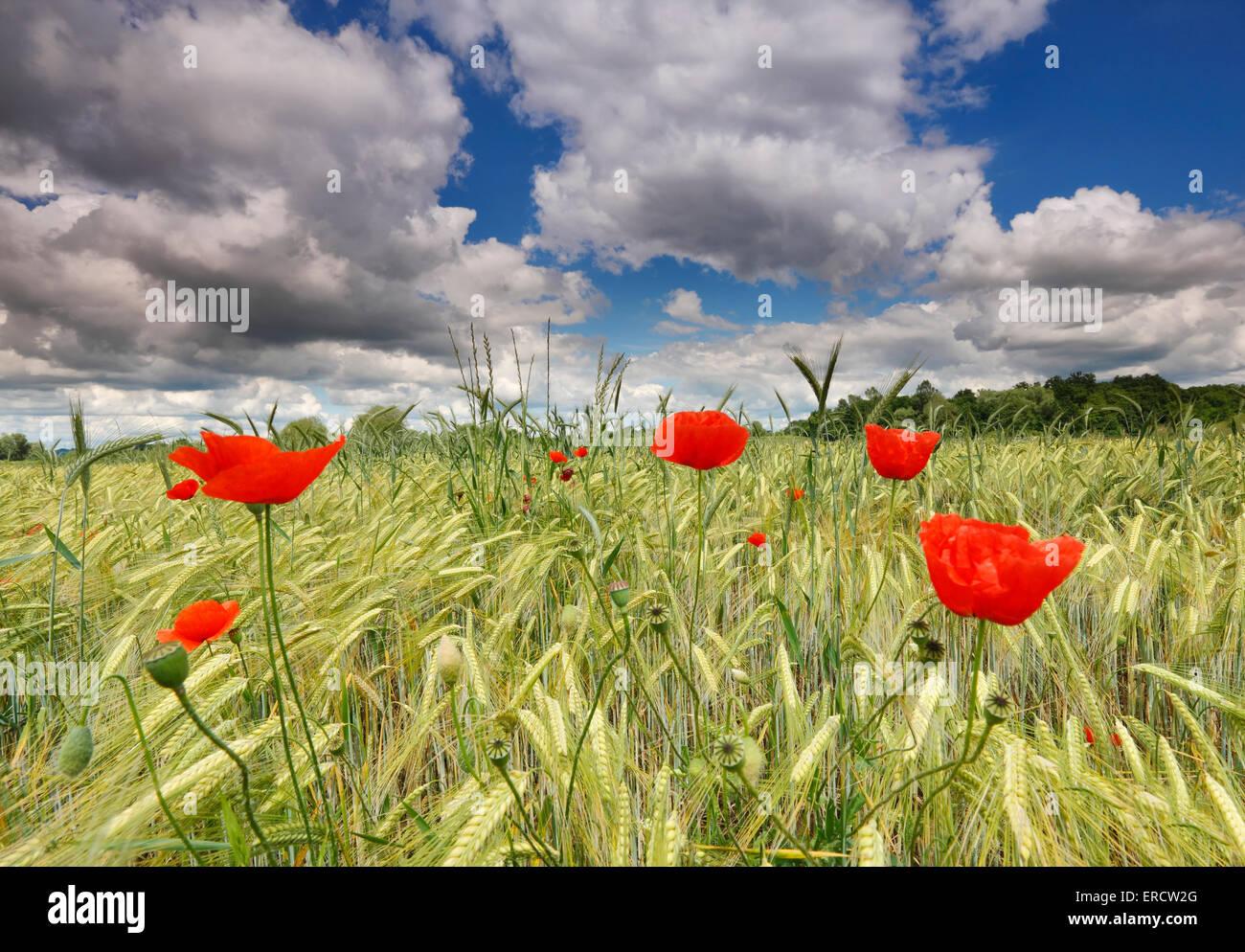 Mohnblumen im Weizenfeld mit schönen Himmel Wolken Stockbild