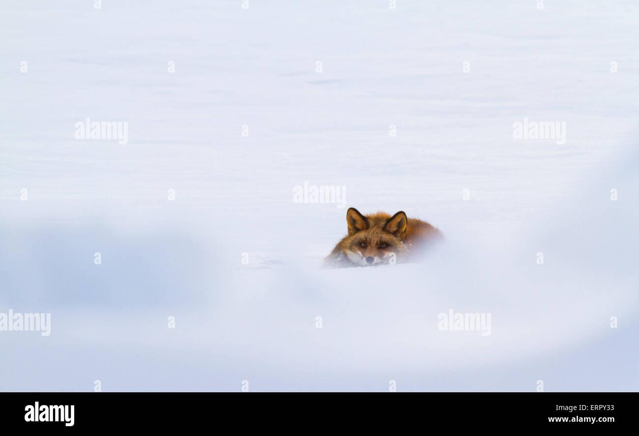Roter Fuchs im Schnee liegen und Blick auf Kamera Stockbild