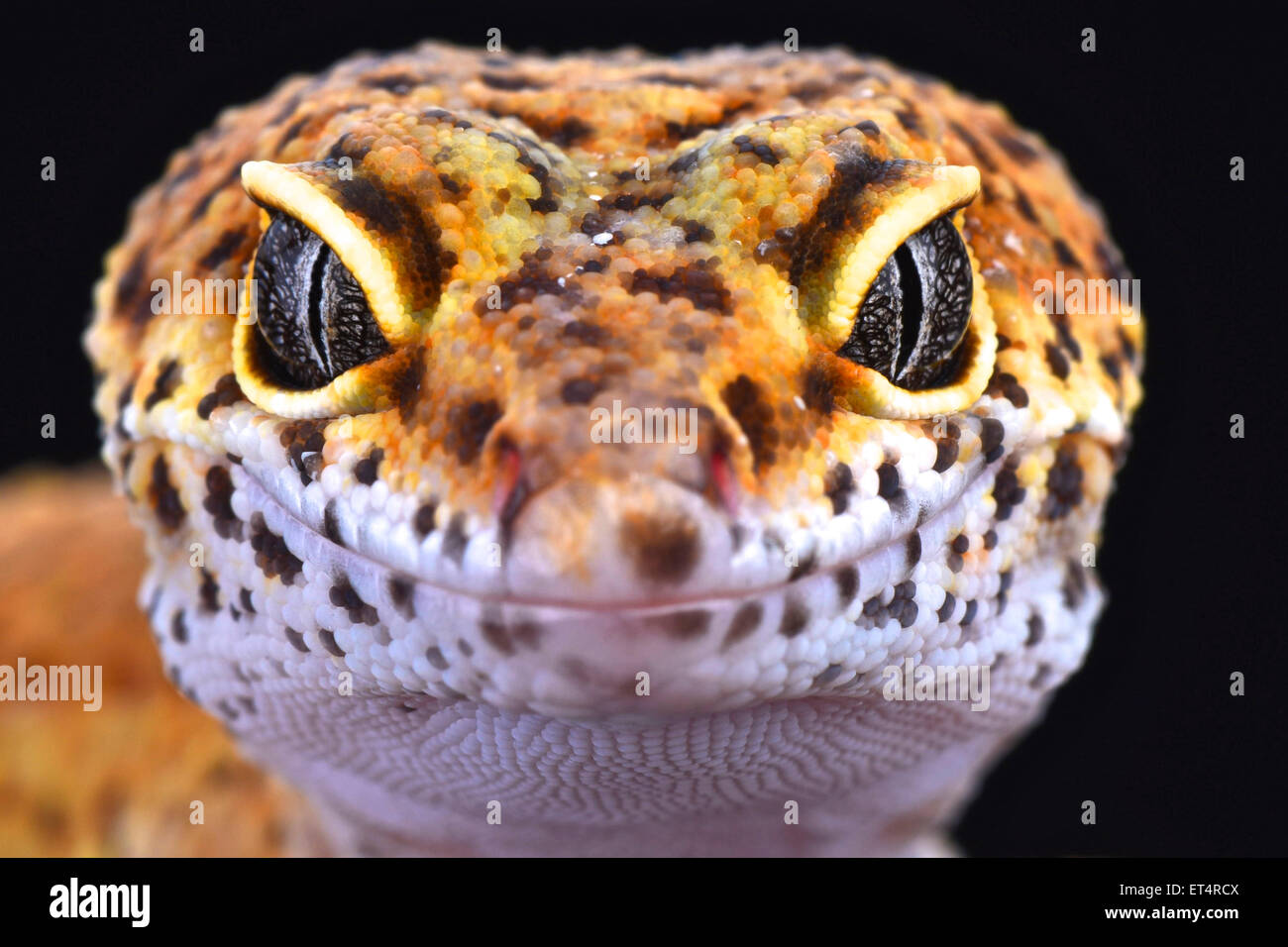 Leopardgecko (Eublepharis Macularius) Stockbild