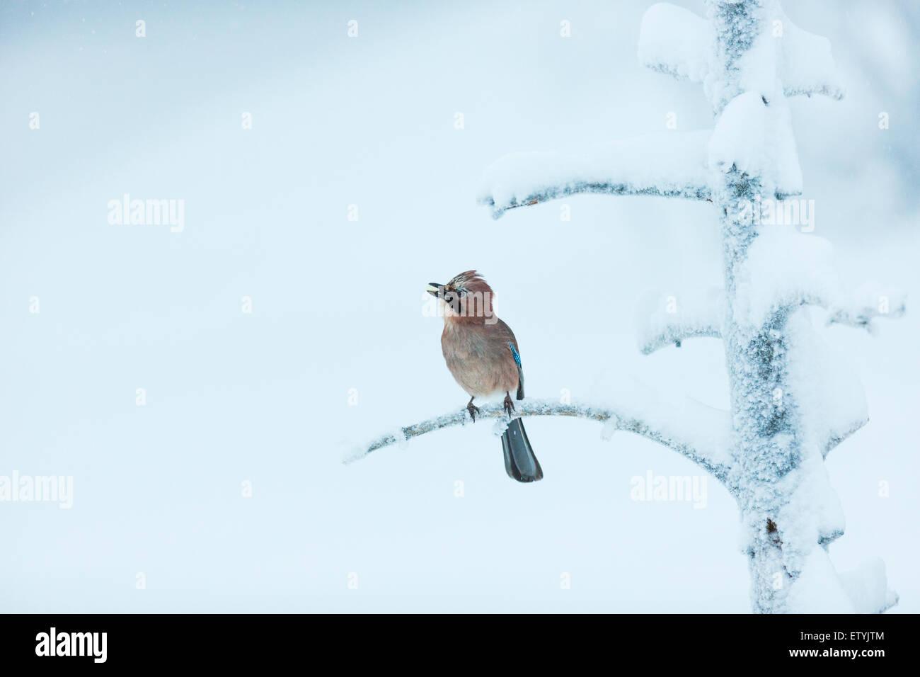Eichelhäher Garrulus Glandarius, sitzen in einem eisigen und verschneiten alten Baum sieht aus wie er singt Stockbild