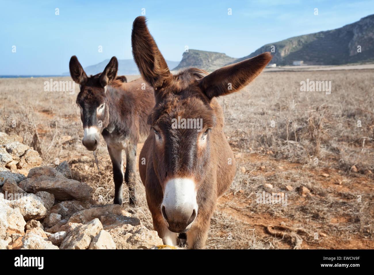 Neugierige Esel in Favignana, Ägadischen Inseln, Sizilien Stockbild