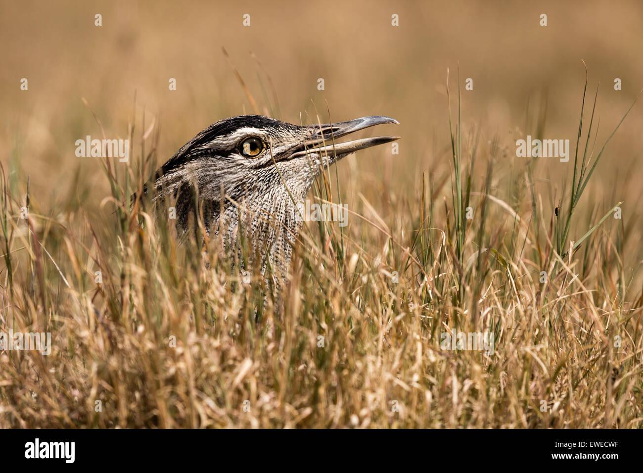 Ein Kori Bustard (Ardeotis Kori) verbirgt sich der weltweit größten fliegenden Vogel lange Gras im Ngorogoro Stockbild