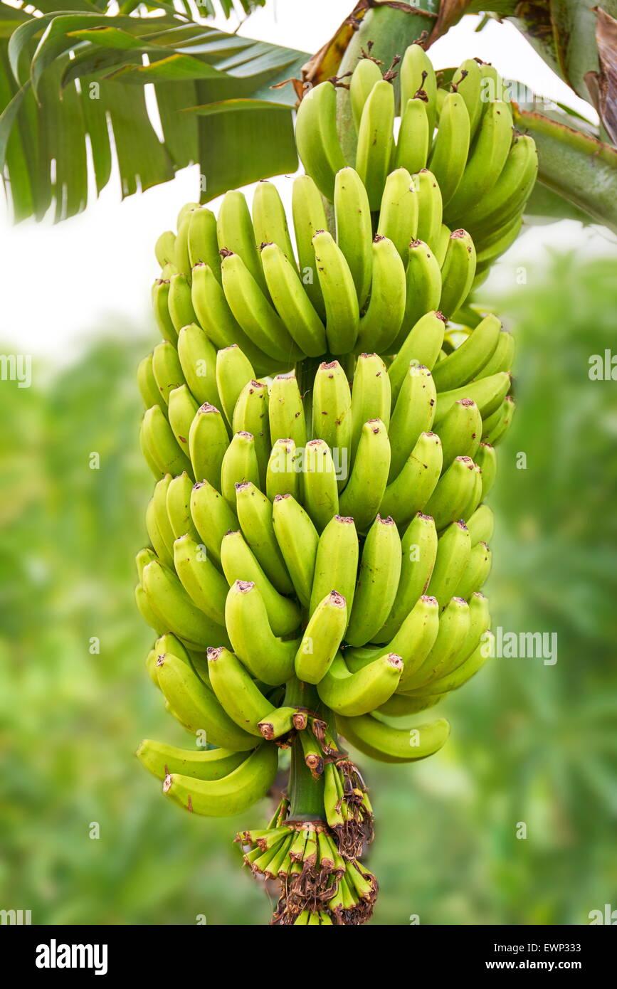 Banane Frucht, Teneriffa, Kanarische Inseln, Spanien Stockbild