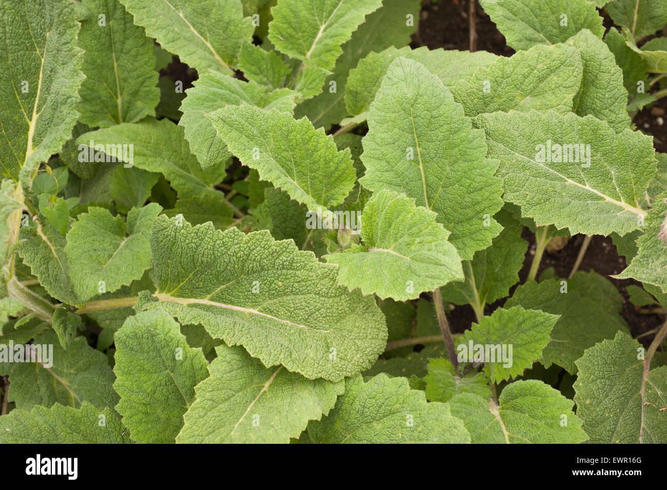 [Grossbritannien] Nahaufnahmen [Farbbilder] Kräuter Außenseiten Pflanzen Tageslicht detail [Nordeuropa] Stockbild