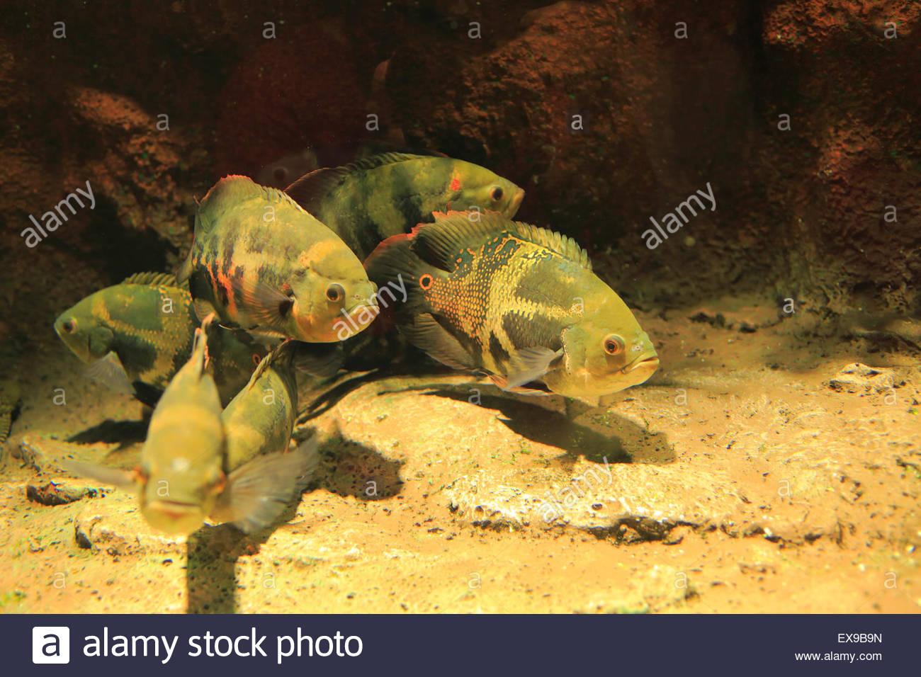Japan, Hokkaido, Kitami, Oscar Schwimmen im Aquarium, close-up. Stockbild