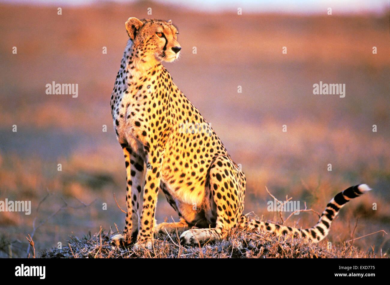 Gepard in der Savanne am späten Nachmittag Sonnenlicht Stockbild