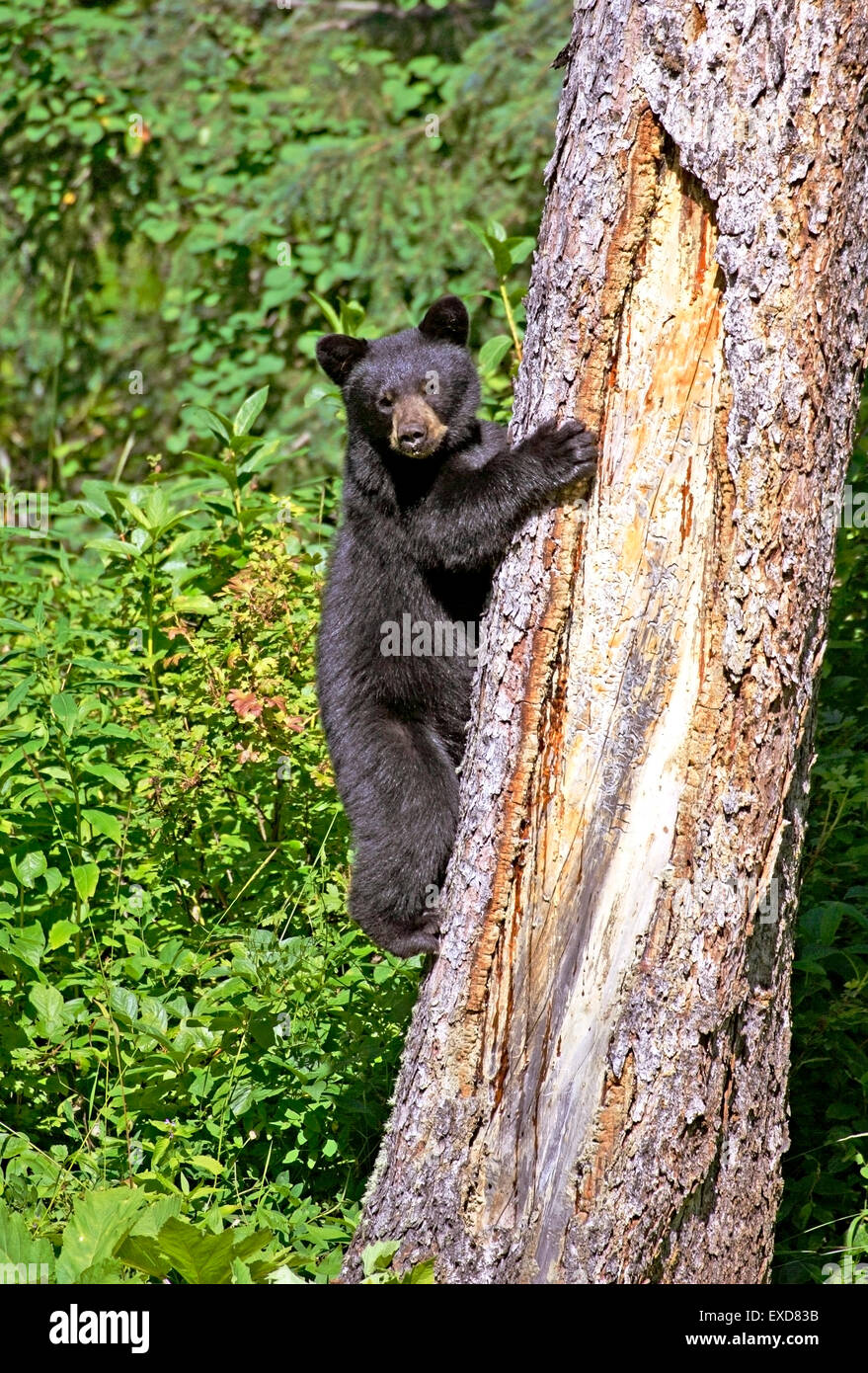 Black Bear Cub 8 Monate alt Klettern big Spruce Tree Stockbild