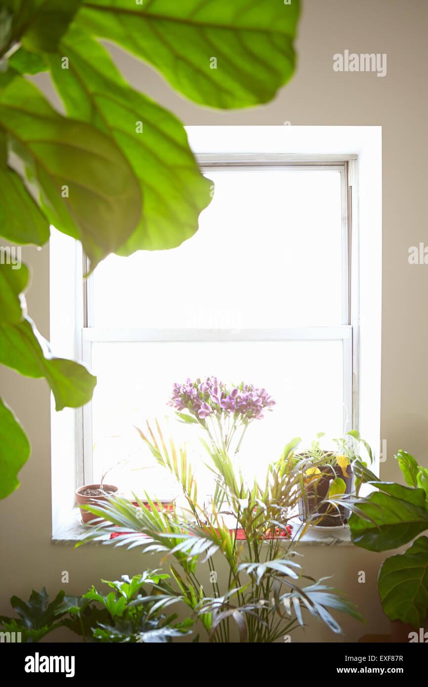 Vielzahl von Zimmerpflanzen vor Fenster, im Innenbereich Stockbild
