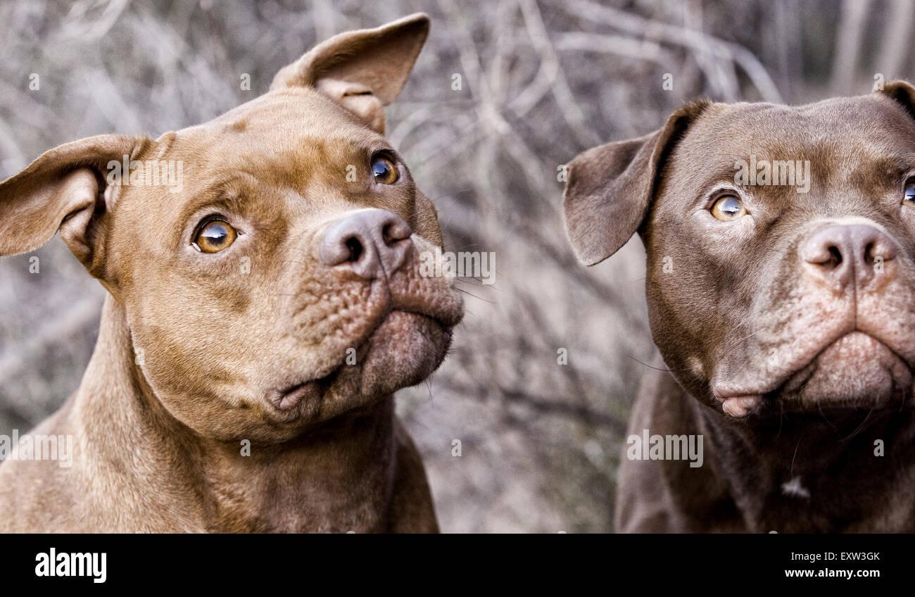 Zwei braune Pitbulls nachschlagen, Vorfreude, Fokus Stockbild