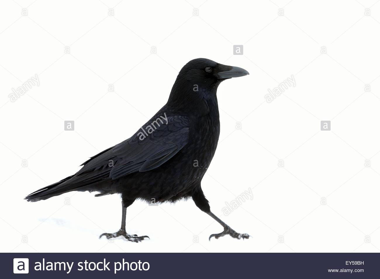 crow stockfotos crow bilder alamy. Black Bedroom Furniture Sets. Home Design Ideas