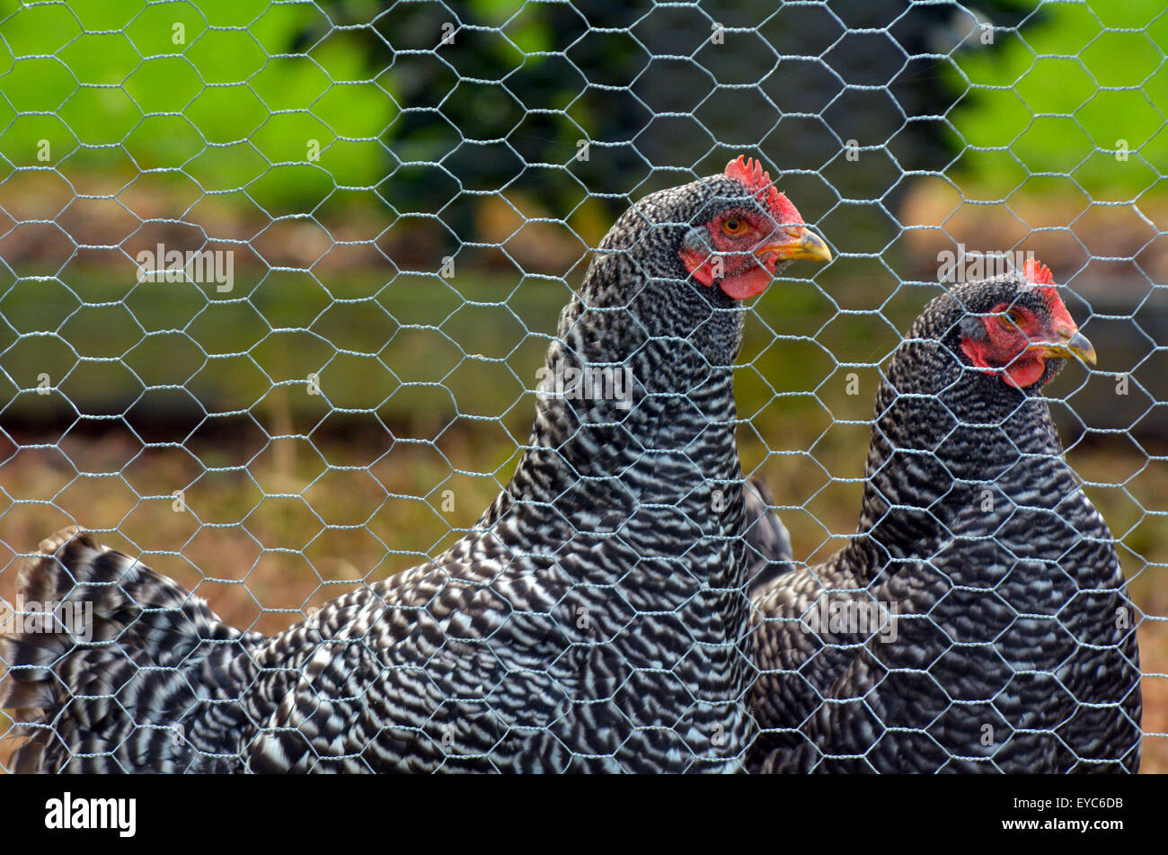 black rock chicken stockfotos black rock chicken bilder alamy. Black Bedroom Furniture Sets. Home Design Ideas