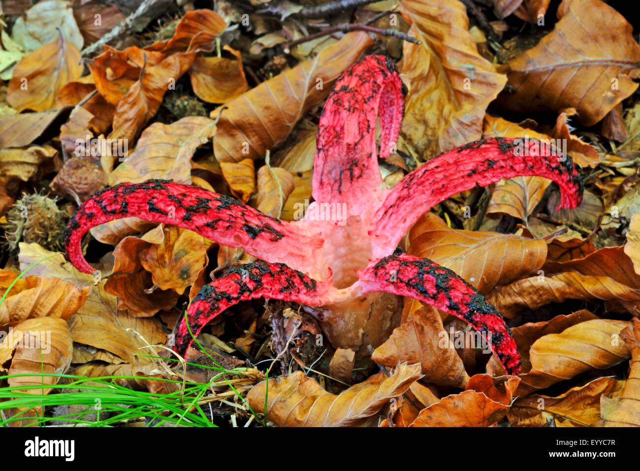 Teufels Finger, Teufels-Kralle-Pilz, Riesen Gestank Horn, Octopus Stinkmorchel (Anthurus Archeri, Clathrus Archeri), Stockbild