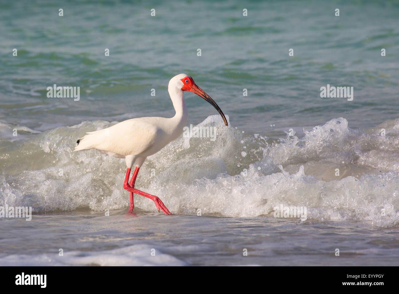 weißer Ibis (Eudocimus Albus), Suche nach Nahrung in der Drift-Linie vor dem brechen der Wellen, Tampa, Florida, Stockbild