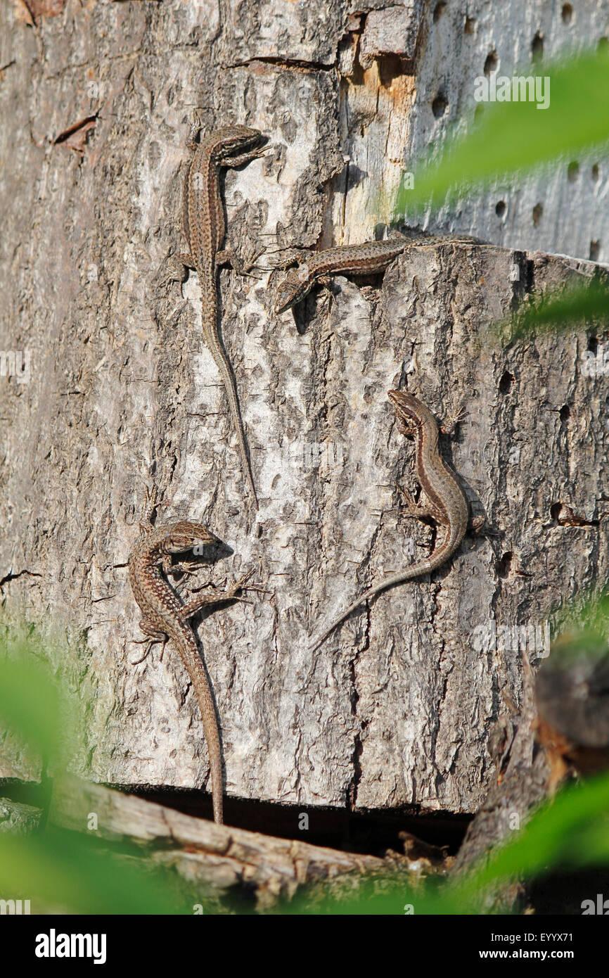 vivipare Eidechse, europäischen gemeinen Eidechse (Lacerta Vivipara, Zootoca Vivipara), vier Tiere sitzen auf Stockbild