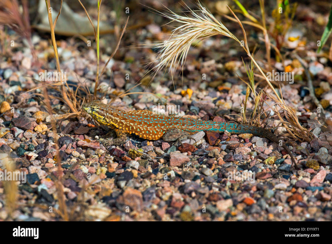 Wüsten-Beifuß-Eidechse (Sceloporus Graciosus), Männlich, Sonnenbaden, USA, Arizona, Boyce Thompson Stockbild