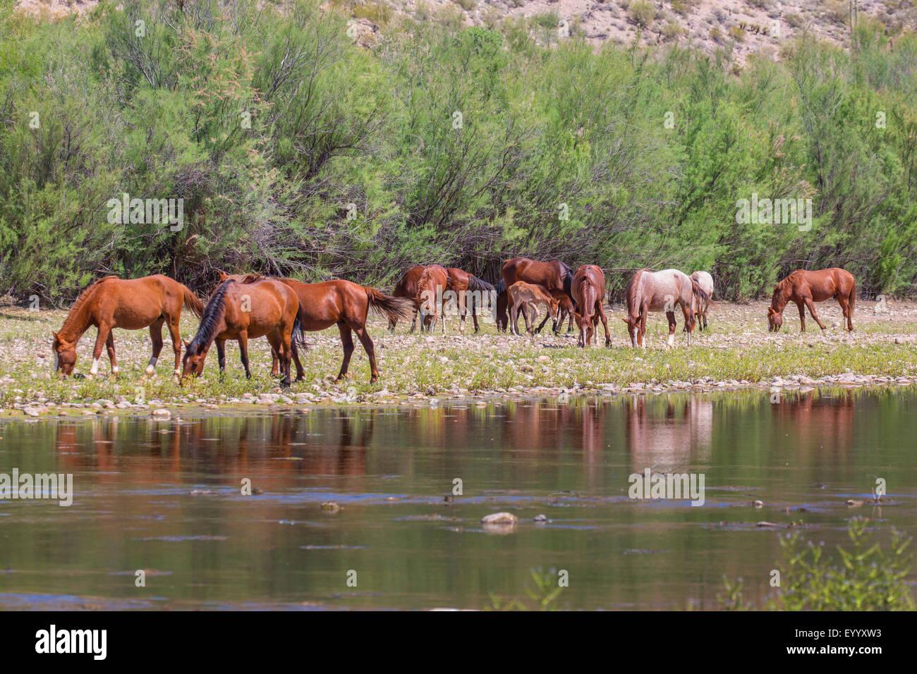 inländische Pferd (Equus Przewalskii F. Caballus), wilde Pferde weiden am Fluss Ufer, USA, Arizona, Salt River Stockbild