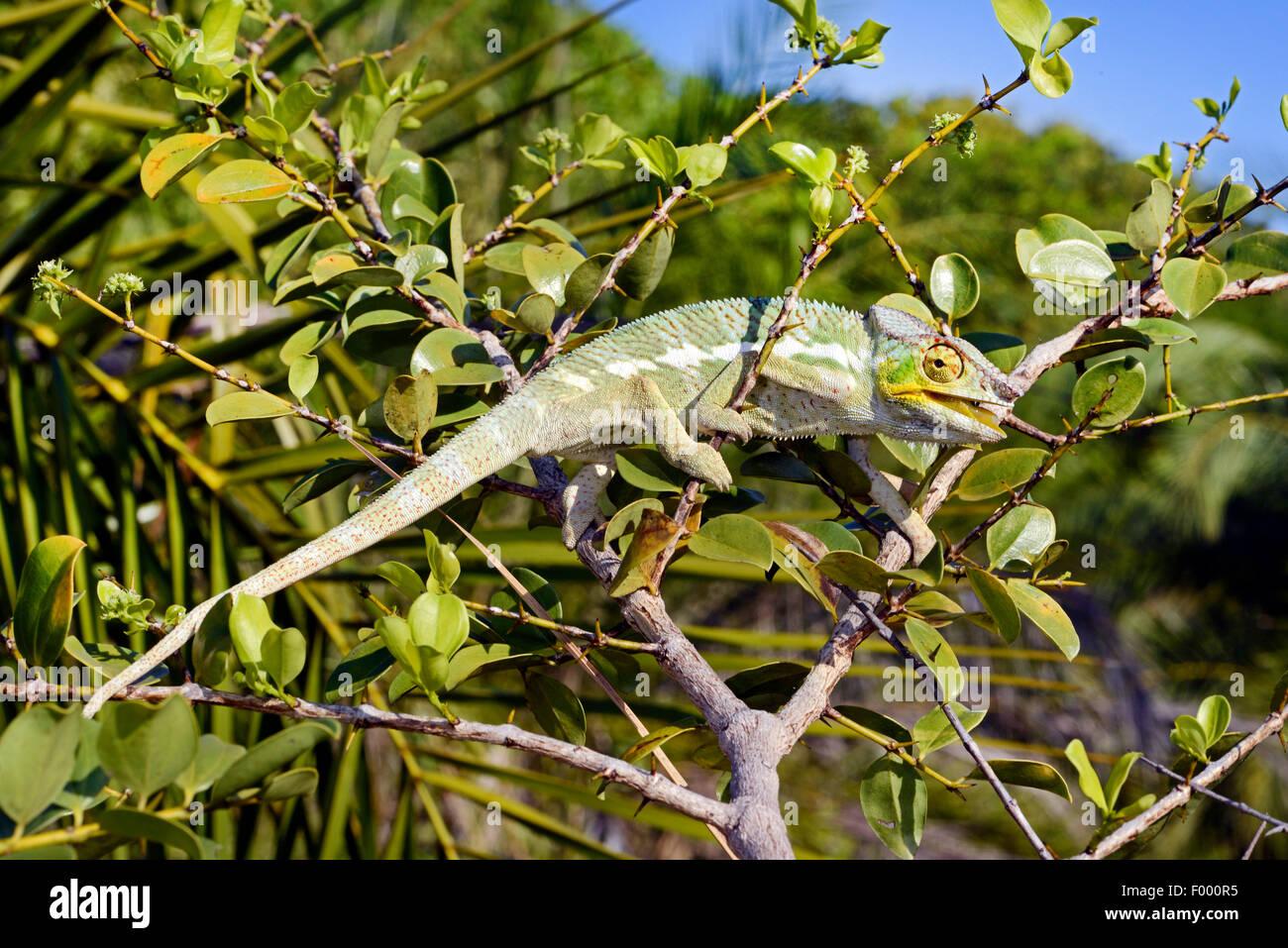 Pantherchamäleon (Furcifer Pardalis, Chamaeleo Pardalis), Männlich, Madagaskar, Ankifi Stockbild