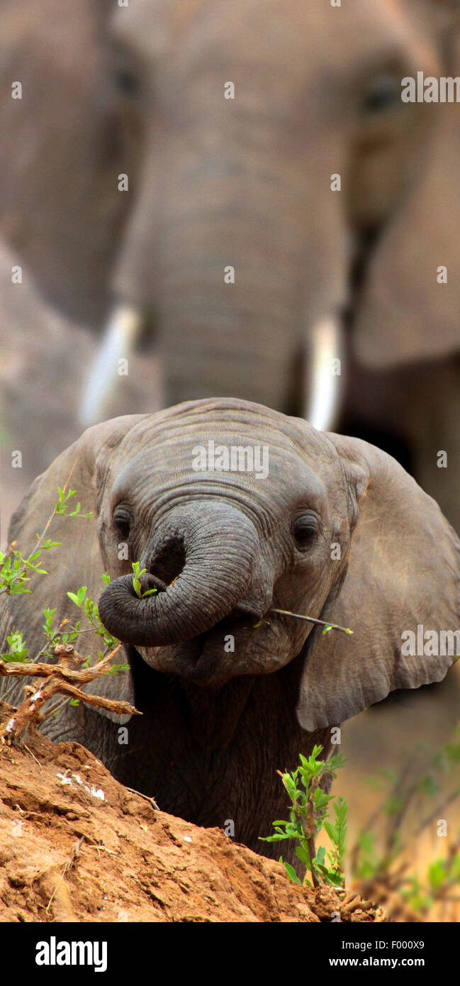 Afrikanischer Elefant (Loxodonta Africana), sieht Elefantenbaby über einen kleinen Hügel, Afrika Stockbild
