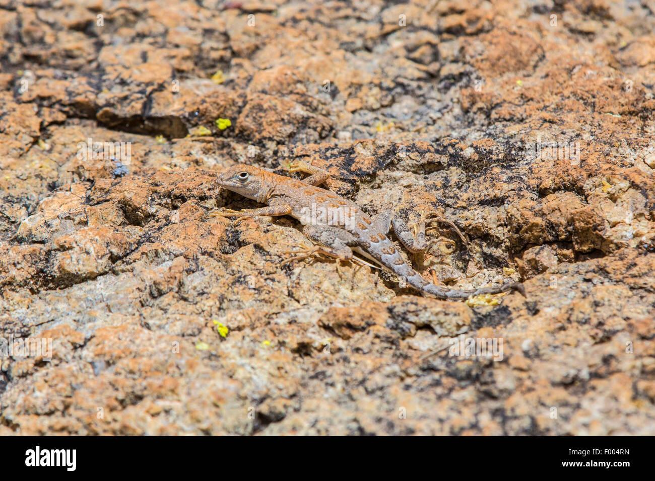 Elegante Earless Lizard (vgl. Holbrookia Elegans), gut getarnt auf Felsen, USA, Arizona Stockbild
