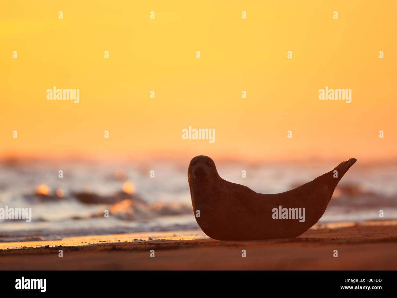 graue Dichtung (Halichoerus Grypus), neugierig Dichtung bei Sonnenaufgang am Strand, Silhouette, Vereinigtes Königreich Stockbild