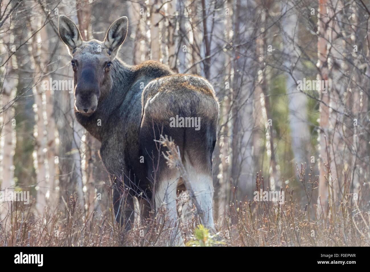 Elch, Alces Alces, stehend unter Birken mit keine Blätter, Llooking in Kamera, Gällivare, Schwedisch Lappland, Stockbild