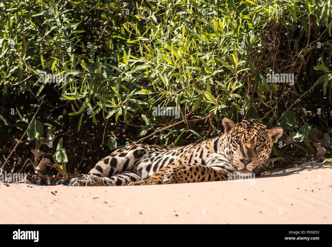 Erwachsenen Jaguar liegen am Strand von drei Brüdern Fluss Pantanal Mato Grosso, Brasilien Stockbild
