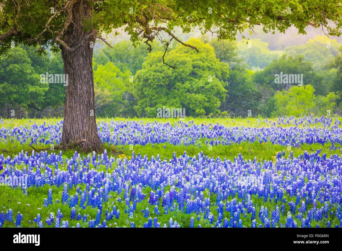 Bluebonnet Feld unter einer Eiche in der Nähe von Llano, Texas Stockbild