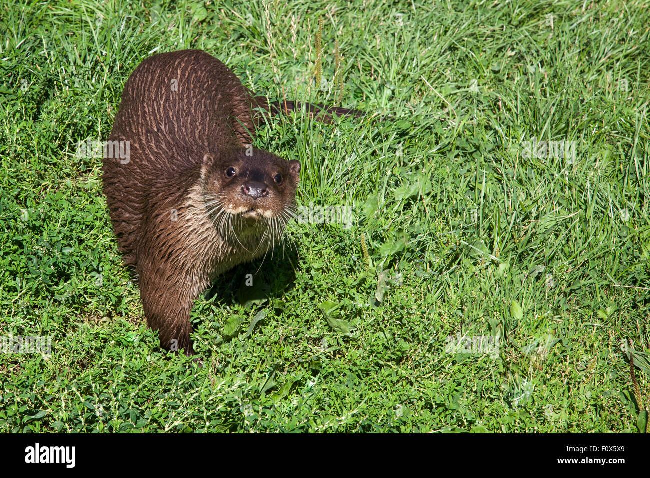 Eine neugierige Europäische otter Stockbild