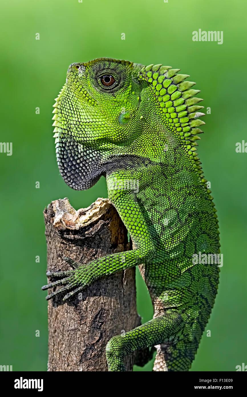 Chamäleon kriechen auf einen Baum Stockbild