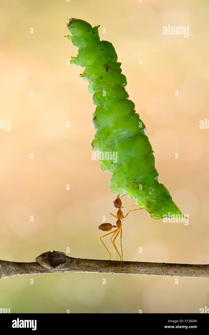 Ameisen tragen grosses Blatt Stockbild