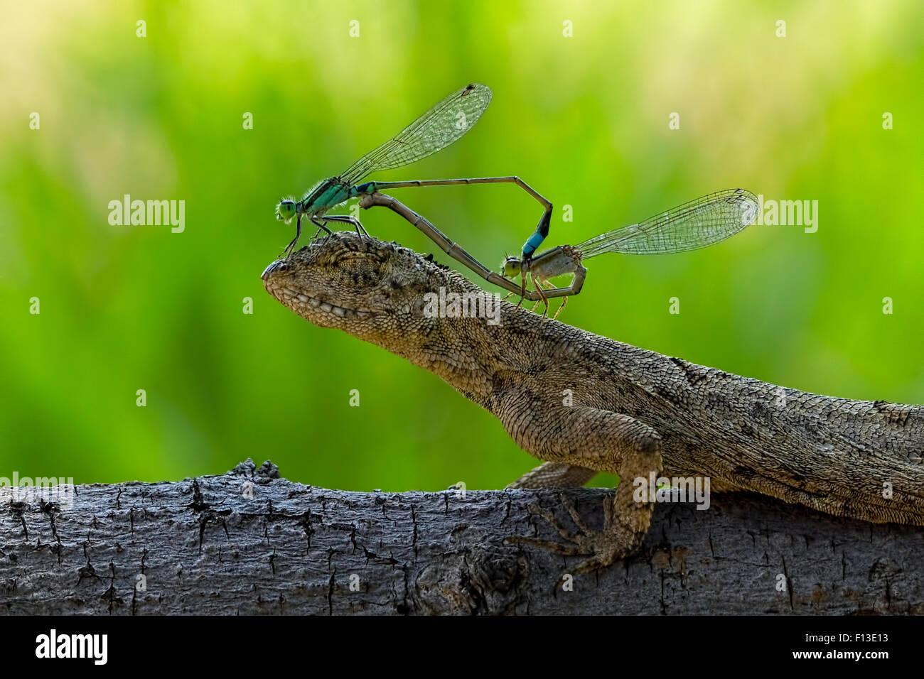 Zwei paarende Libellen sitzen auf den Kopf einer Eidechse Stockbild