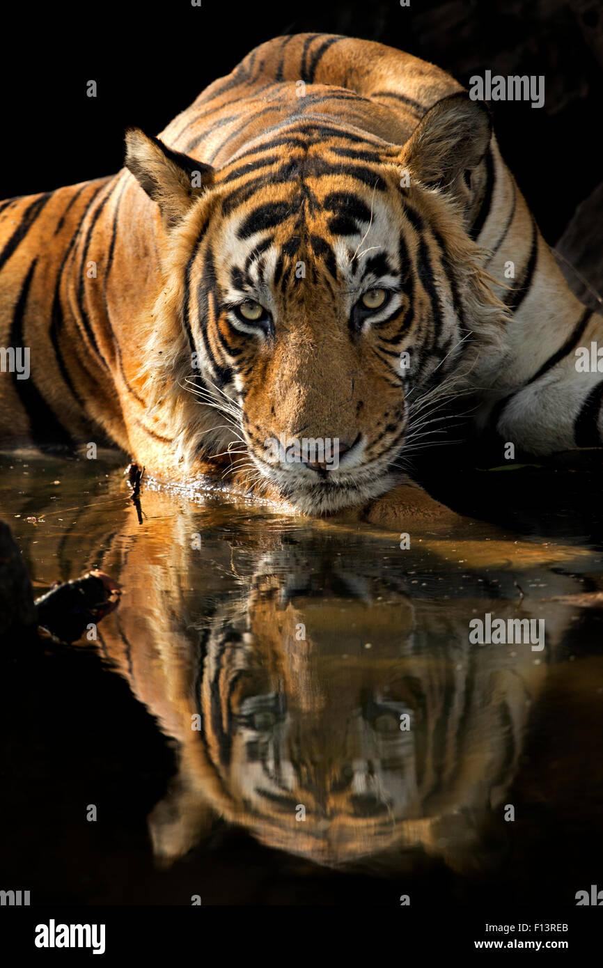 """Bengal-Tiger (Panthera Tigris Tigris) männlichen """"Romeo T6"""" cooling off im Wasserloch an heißen Stockbild"""