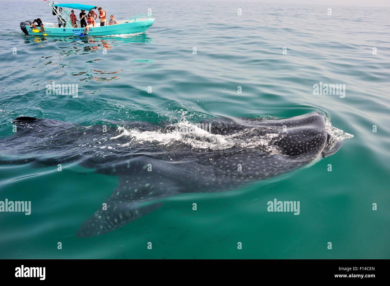 Walhai (Rhincodon Typus) Mund ernähren sich von Plankton an die Oberfläche mit Touristen beobachten von Stockbild