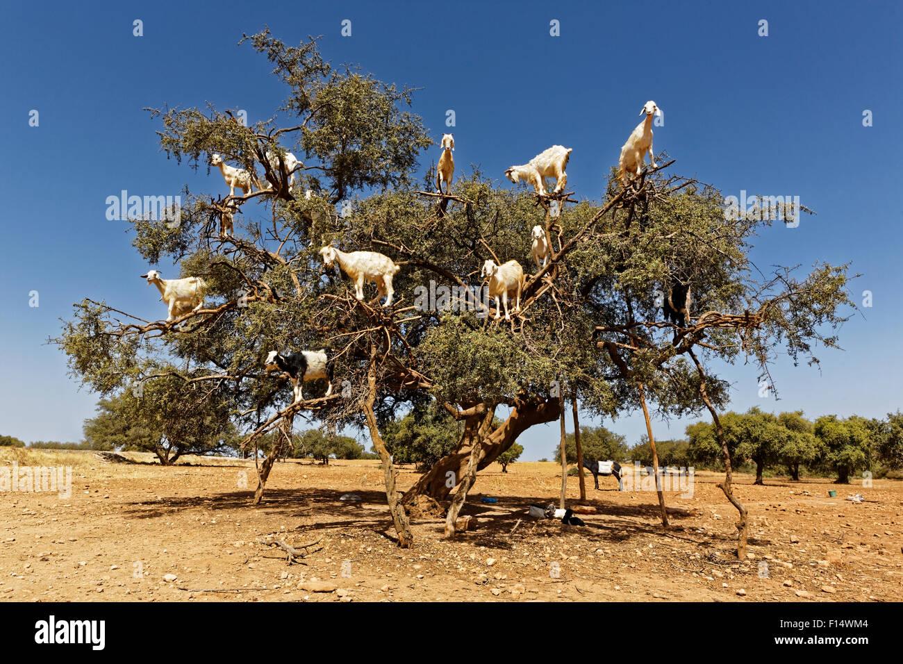 Arganbäume und die Ziegen auf dem Weg zwischen Marrakesch und Essaouira in Morocco.Argan Öl wird durch Stockbild
