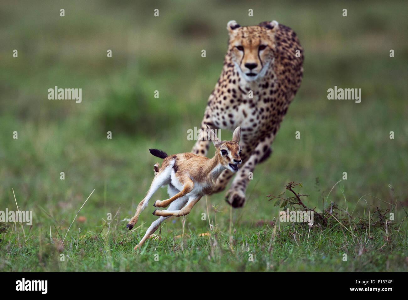 Gepard (Acinonyx Jubatus) Cub im Alter von rund einem Jahr um etwa zu stürzen Faon Thomson es Gazelle (Eudorcas Stockbild