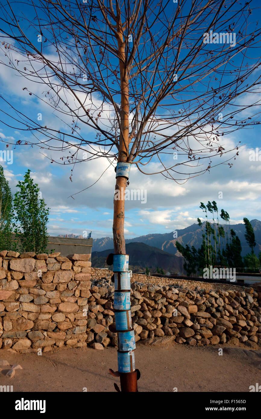 Dosen, um Bäume zu schützen und beugen Schäden von Tieren, Ladakh, Indien Stockbild